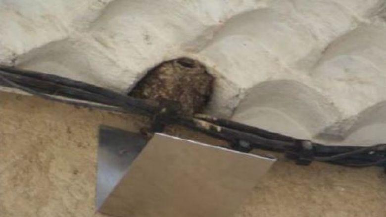 La LPO suggère s'installer des planchettes sous les nids d'hirondelles, pour se prémunir des fientes, et éviter aux petits de tomber. / © Marjorie Poitevin, LPO PACA
