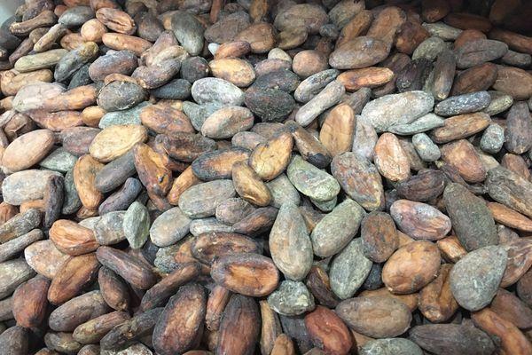 Fèves de cacao.