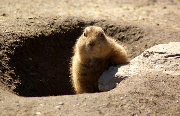Marmotte au soleil couchant
